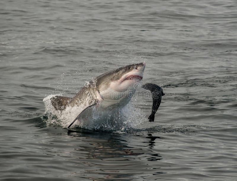 Grande violazione dello squalo bianco fotografia stock libera da diritti
