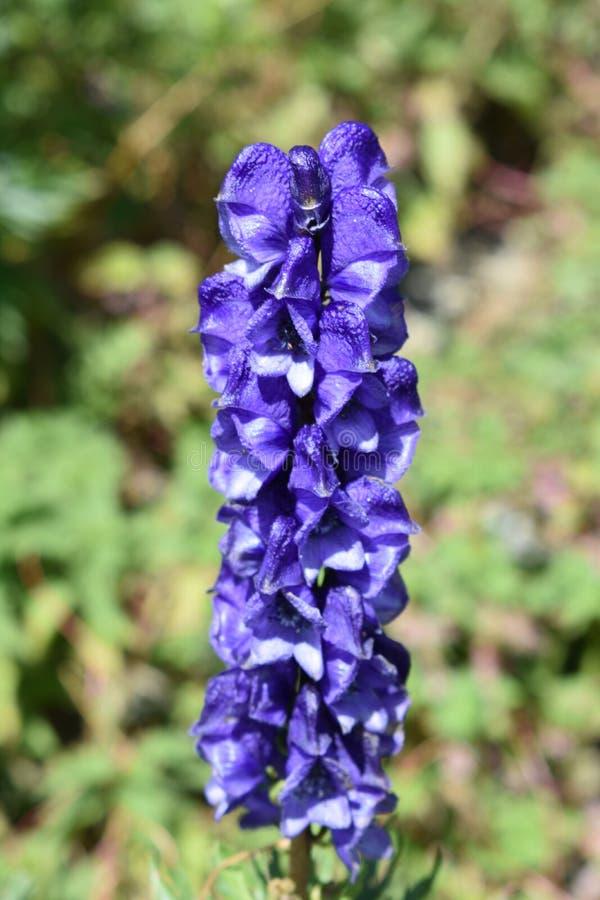 Grande Violet Flower azul fotos de stock royalty free
