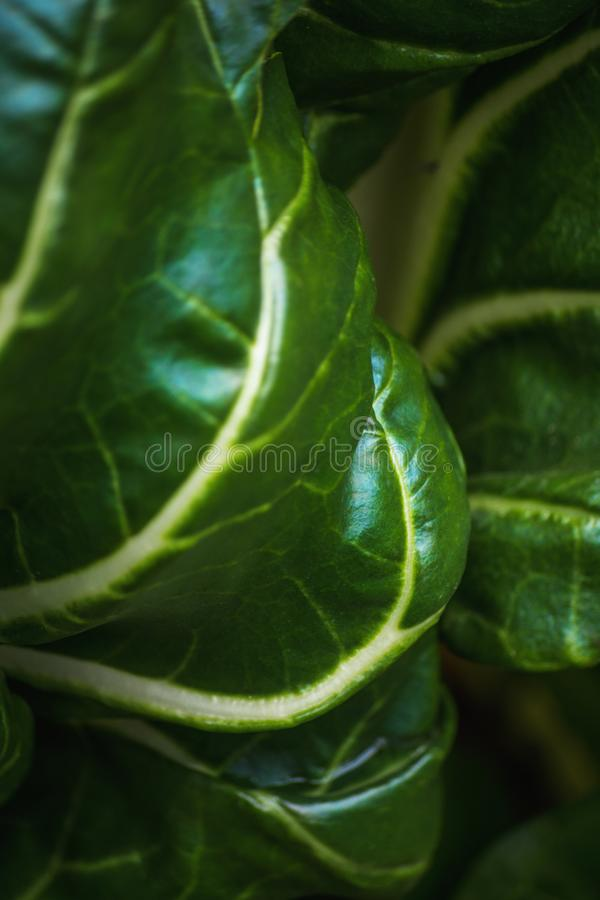 Grande vista à proximidade da alface de folha verde fresca e suculenta imagem de stock royalty free