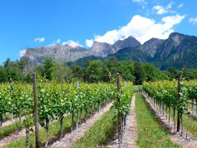 Grande vista dos vinhedos na primavera sob um céu azul com nuvens e picos de montanha brancos atrás imagens de stock
