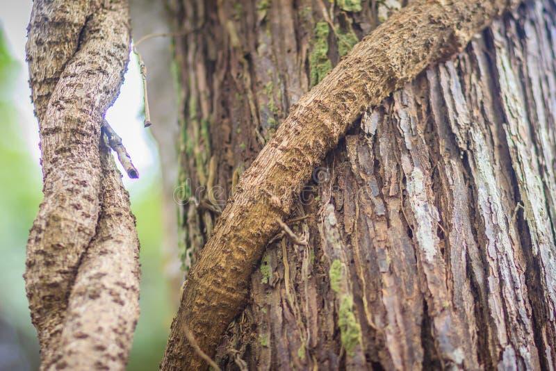 Grande vite sul fondo del tronco di albero Il grande albero è stato legato dalla vite immagine stock libera da diritti