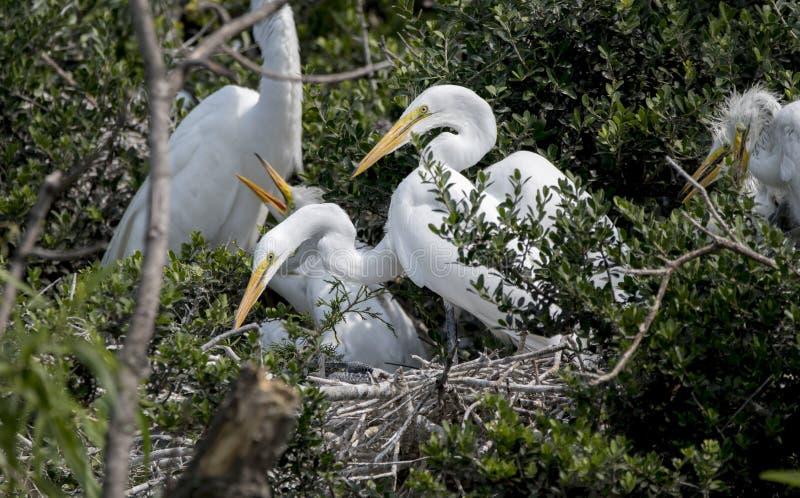 Grande viveiro do Egret, reserva natural da ilha de Pickney, South Carolina fotografia de stock