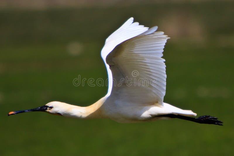 Grande volo bianco dell'uccello di spoonbill immagine stock libera da diritti