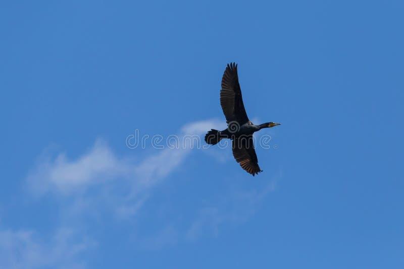 Grande volo nero del cormorano in un cielo blu fotografia stock