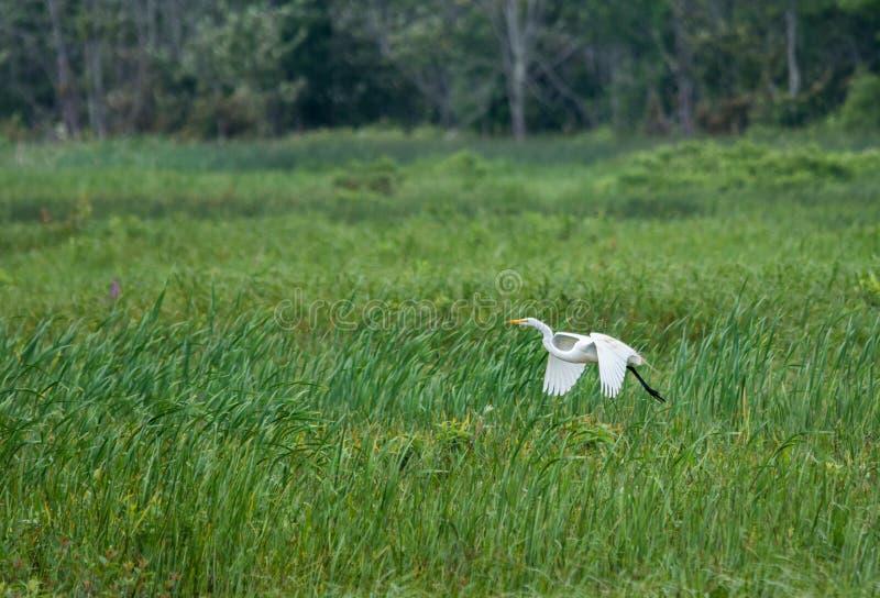 Grande voo branco do egret fora de um pântano foto de stock royalty free