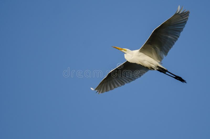 Grande voo do Egret no céu azul imagens de stock royalty free
