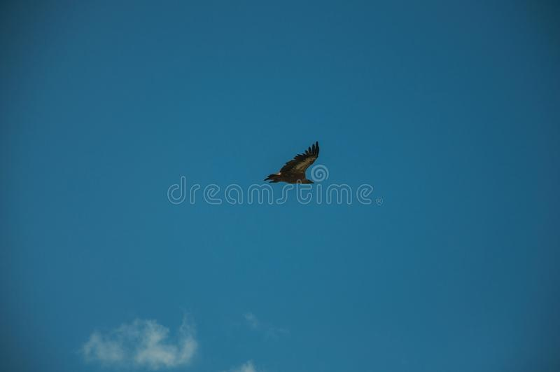 Grande voo do pássaro no céu no parque nacional de Monfrague fotografia de stock royalty free