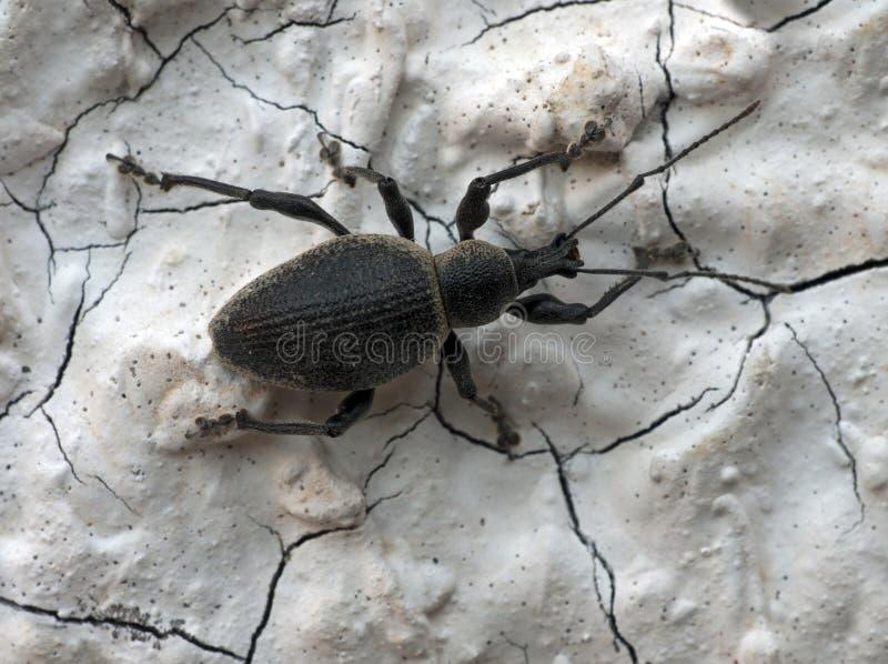 Grande weevil peludo preto - Curculionoidea foto de stock royalty free