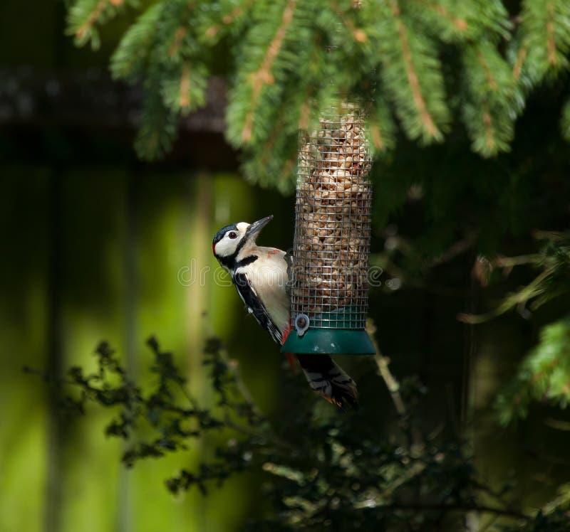 Grande Woodpecker manchado fotos de stock