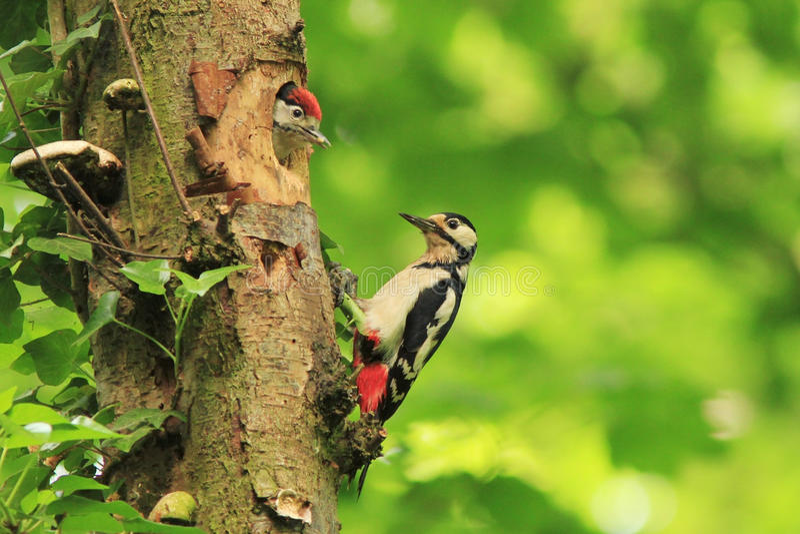 Grande Woodpecker manchado (major de Dendrocopos) fotografia de stock