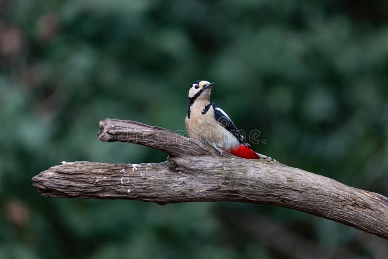 Grande woodpecker manchado, major de Dendrocopos imagens de stock