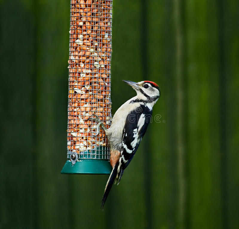 Grande Woodpecker manchado no alimentador foto de stock