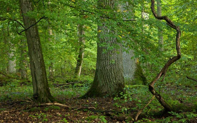Grandes árvores de carvalho velhas imagens de stock