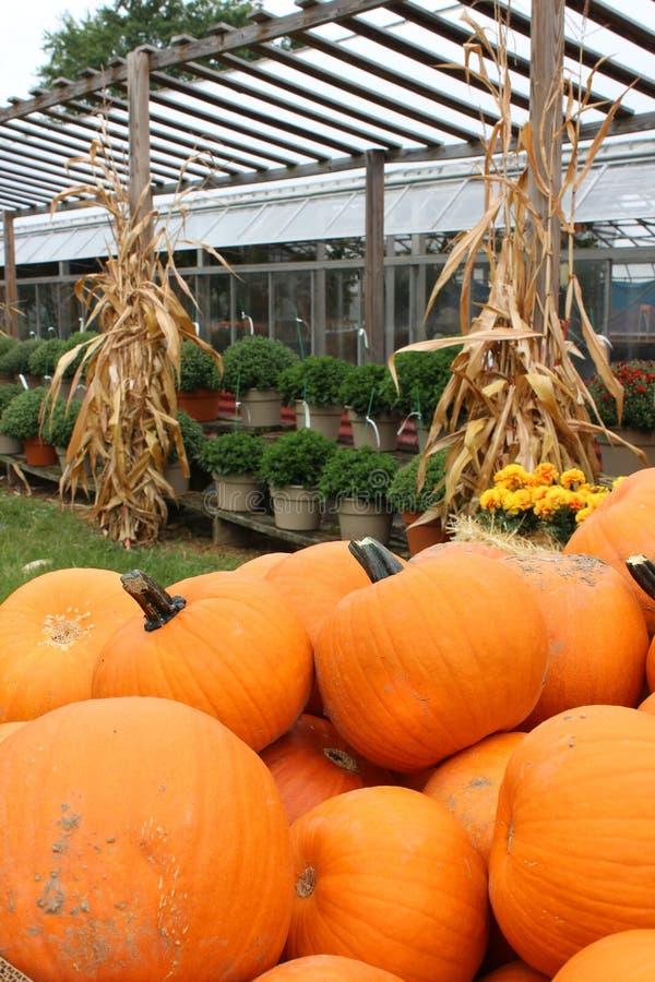 Grandes abóboras brilhantes e coloridas, plantas em pasta, e cornstalks no berçário fotos de stock royalty free