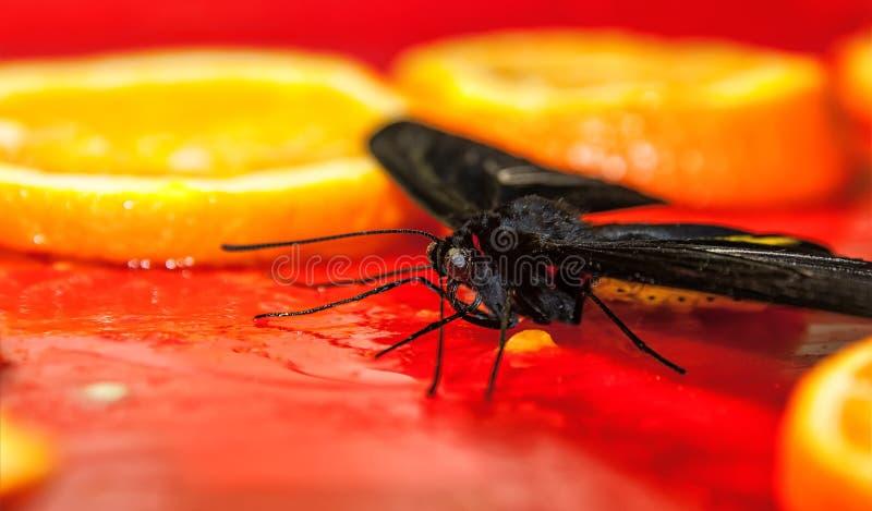 Grandes alimentações pretas da borboleta no suco de laranja wallpaper Fim acima Foco seletivo foto de stock