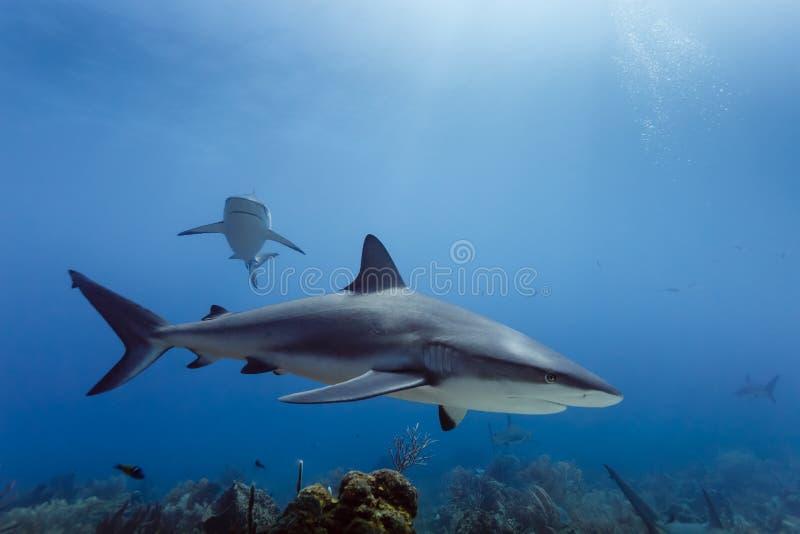 Grandes amblyrhynchos do Carcharhinus dos tubarões do recife que nadam acima do recife de corais imagem de stock