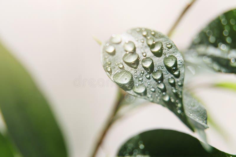 Grandes belles baisses de l'eau sur les feuilles fra?ches dans les rayons doux du soleil chaud Beau fond de nature photo stock