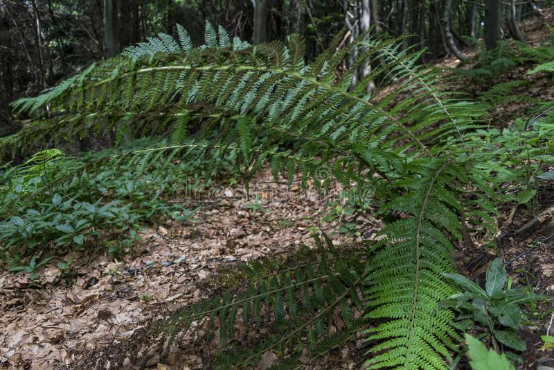 Grandes, belles et vertes fougères dans la forêt le long de la route à la hutte de Kozya Stena La montagne au Balkan central éton photographie stock libre de droits