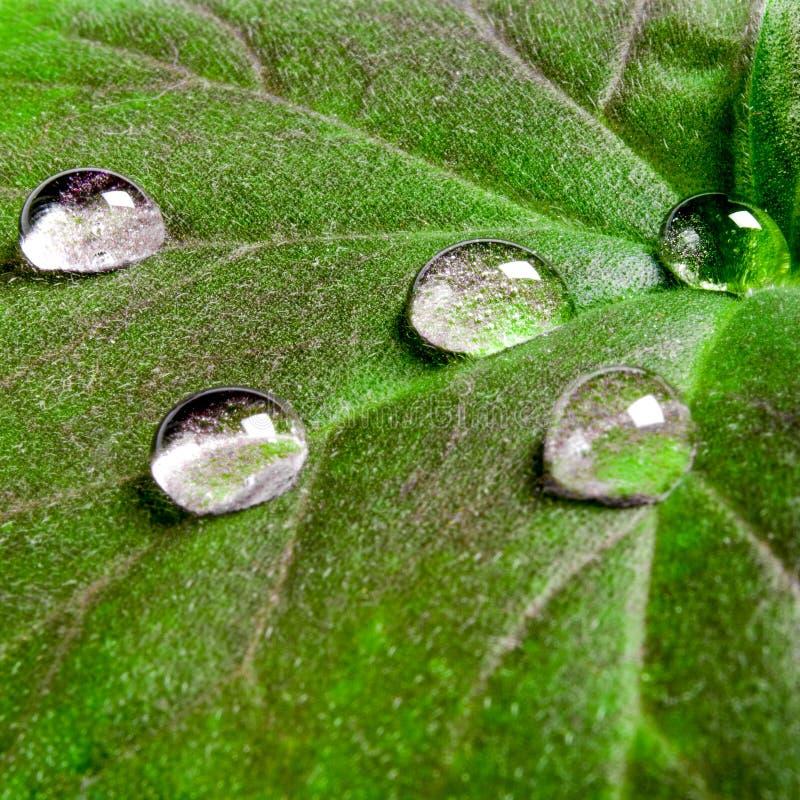 Grandes belles gouttes de l'eau transparente de pluie sur un macro vert de feuille Les baisses de la ros?e pendant le matin rouge photo stock