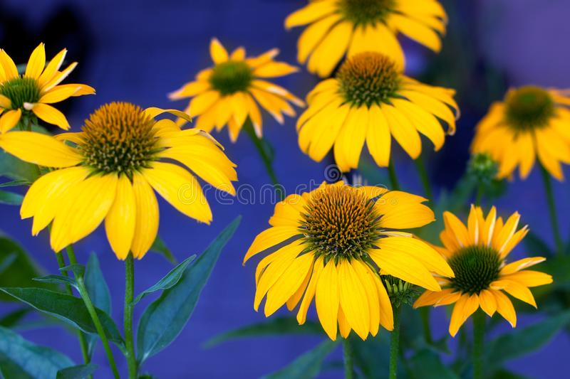 Grandes belles marguerites jaunes sur la fin lumineuse ultra-violette de fond vers le haut du macro photographie stock libre de droits