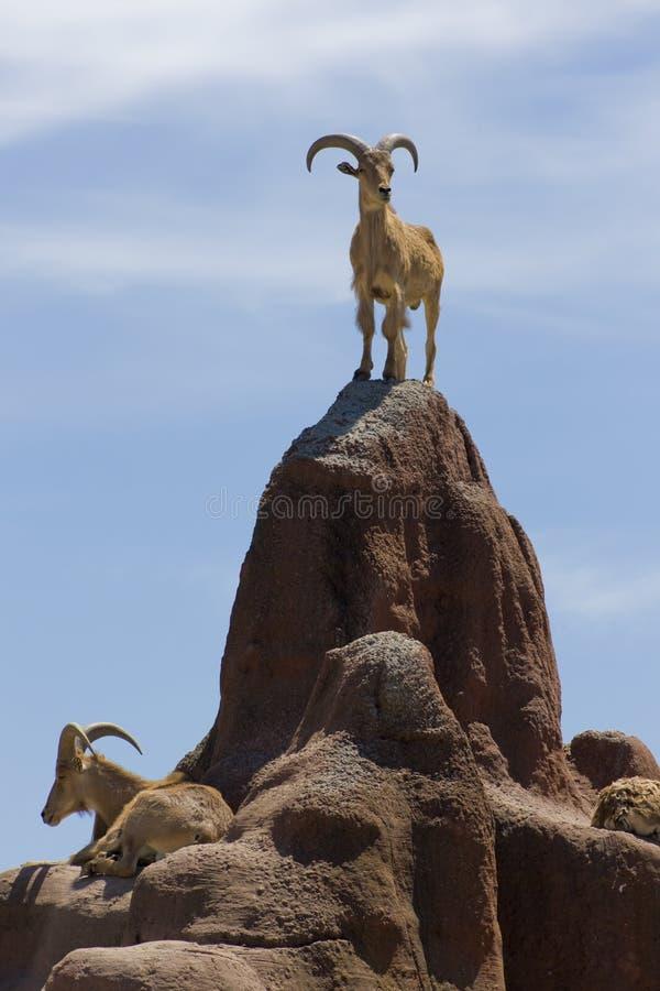 Grandes chèvres de montagne à cornes images stock