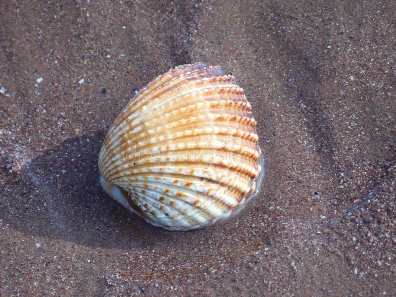 Grandes coquilles de mer de coquille de coque sur le sable images stock