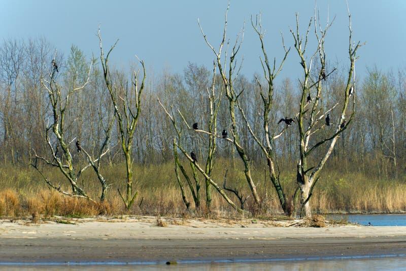 Grandes Cormorants da colônia na árvore foto de stock royalty free