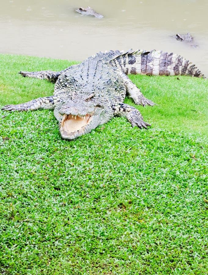 Grandes crocodilos fotografia de stock royalty free