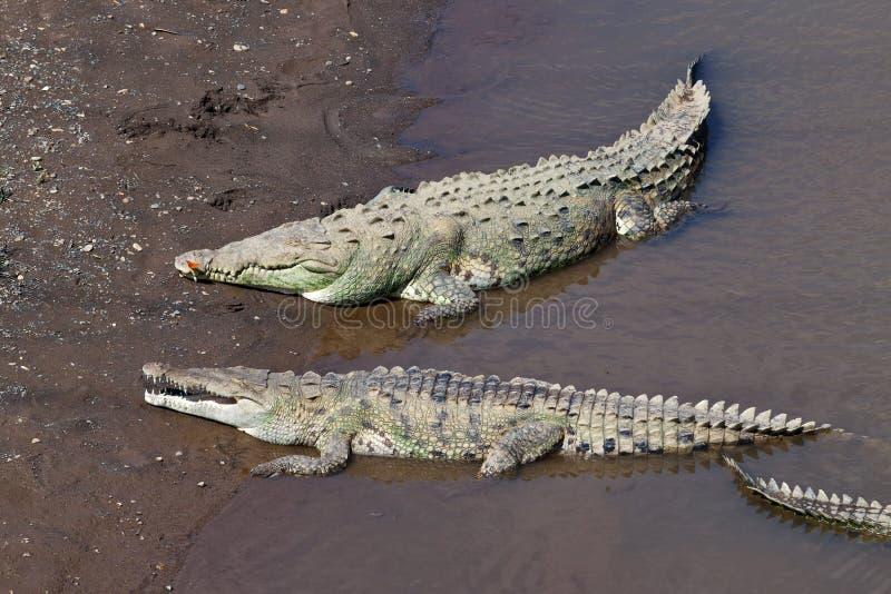 Grandes Crocodilos Americanos Imagens de Stock
