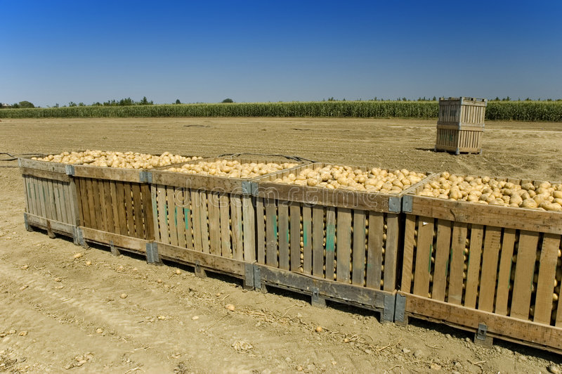 Grandes escaninhos das batatas fotografia de stock royalty free