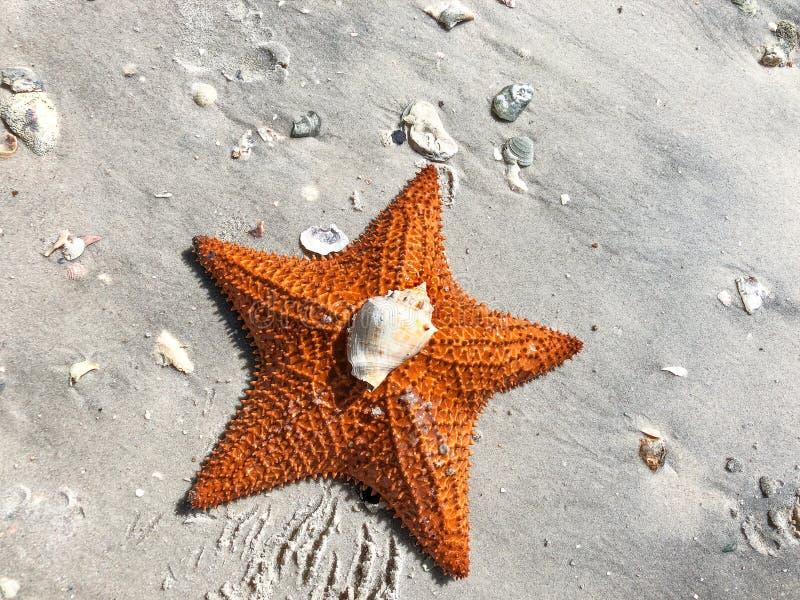 grandes estrela e shell alaranjados de mar do coxim na areia fotos de stock