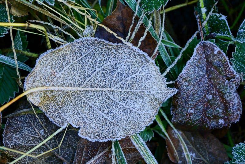 Grandes feuilles tombées sur l'herbe couverte de gelée photos stock