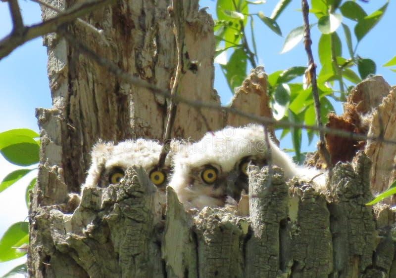 Grandes filhotes de coruja do chifre imagens de stock royalty free