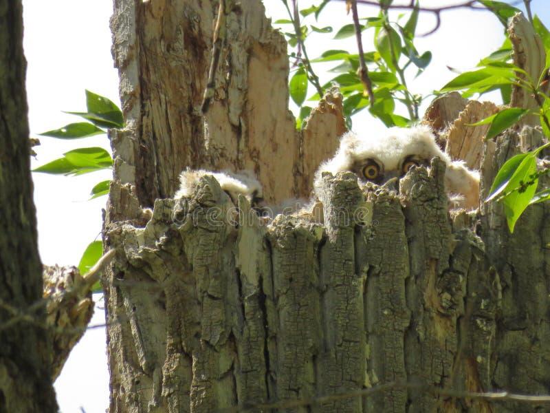 Grandes filhotes de coruja do chifre foto de stock