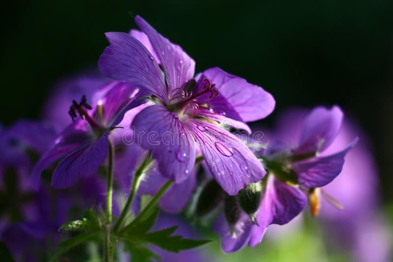 Grandes fleurs d'un géranium photo stock