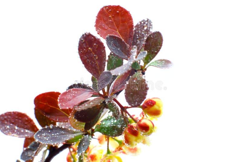 Grandes fleurs de berbéris avec des baisses de l'eau sur un fond clair Plan rapproch? Foyer s?lectif images libres de droits