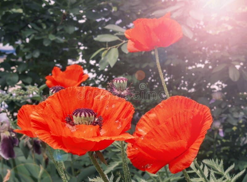 Grandes fleurs de floraison de pavot dans le jardin images libres de droits