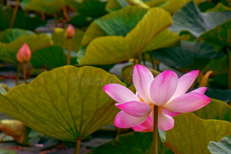 Grandes fleurs de lotus bourgeons roses lumineux de fleur de lotus flottant dans le lac photographie stock
