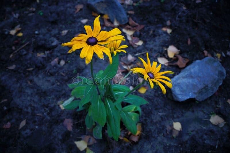 Grandes fleurs jaunes sur les tiges vertes d'un buisson sur la terre grise photographie stock