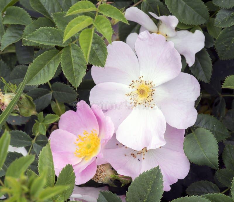 grandes fleurs roses sauvages roses en crim e photo stock. Black Bedroom Furniture Sets. Home Design Ideas