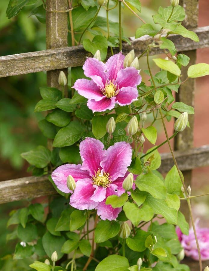 Grandes flores das clematites Piilu no jardim do verão foto de stock royalty free