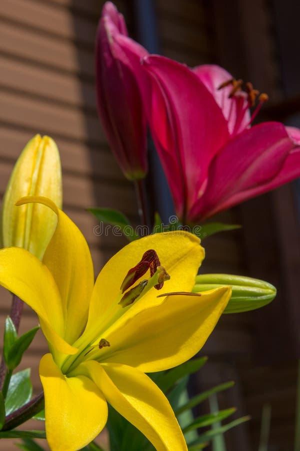Grandes flores de lírios vermelhos e amarelos no jardim fotos de stock royalty free