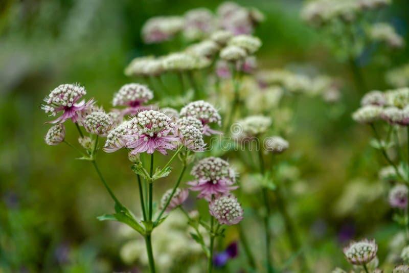 Grandes flores del masterwort, Comandante del Astrantia, floreciendo en un jardín foto de archivo