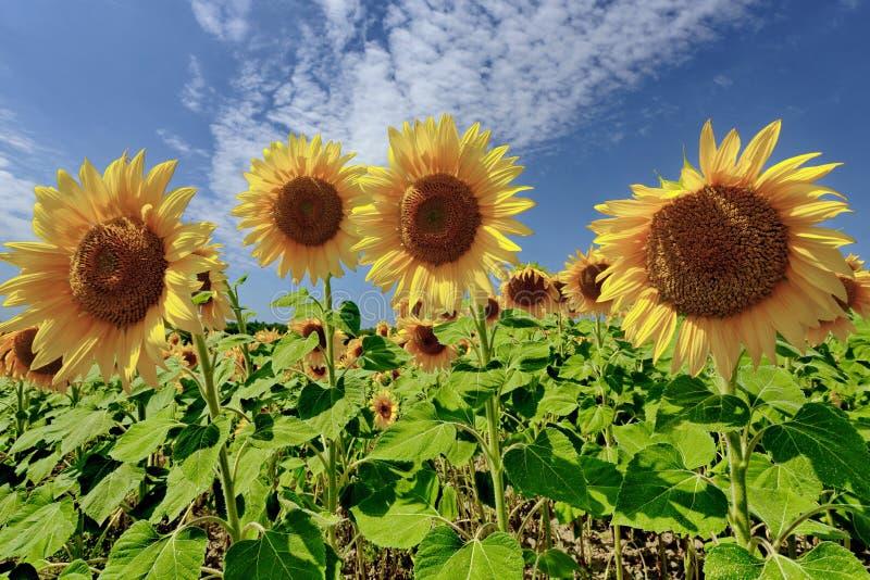 Grandes flores dos girassóis no campo em um dia claro imagens de stock royalty free