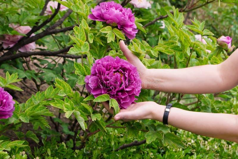 Grandes flores roxas dos peons nas mãos fêmeas fotografia de stock royalty free