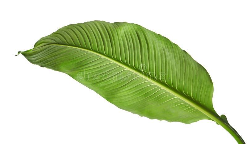 Grandes folhas do lírio de Spathiphyllum ou de paz, folha verde fresca isolada no fundo branco fotografia de stock