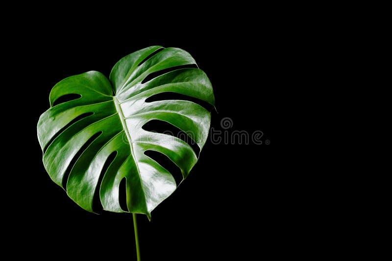 Grandes folhas verdes do deliciosa do monstera ou do Monstera do philodendron da separação-folha a planta tropical da folha que c fotografia de stock