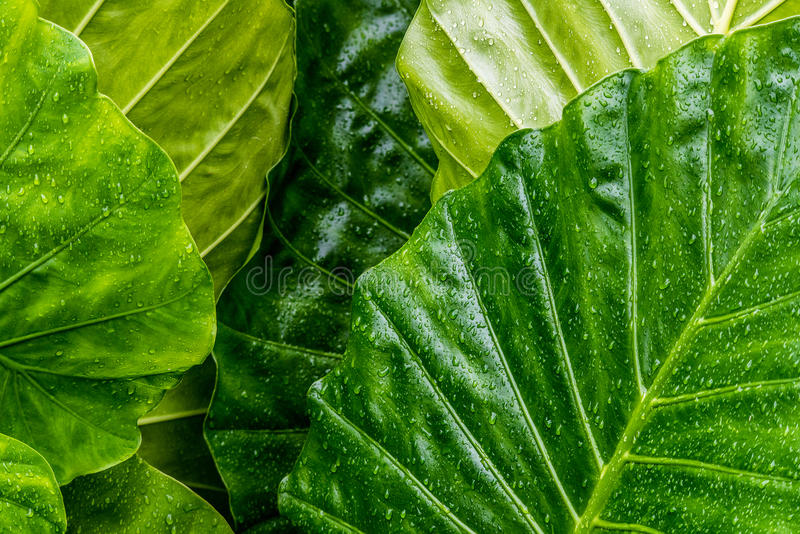 Grandes folhas verdes molhadas com pingos de chuva fotografia de stock royalty free