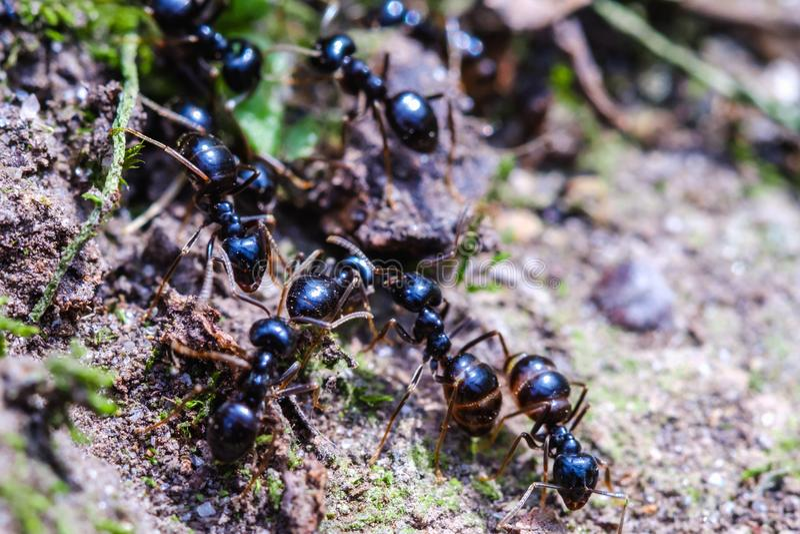 Grandes fourmis à l'intérieur du nid, travailleurs de fourmi dans la colonie images stock