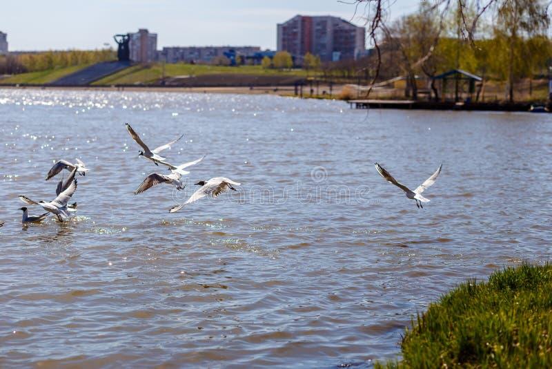 Grandes gaivotas brancas que voam sobre o rio foto de stock